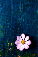 Pink Cosmos Flower on a Worn Wooden Surface